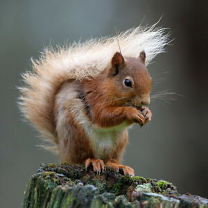 RED SQUIRREL - STUNNING PHOTOGRAPHIC BLANK GREETINGS CARD - Wildlife Lovers Card