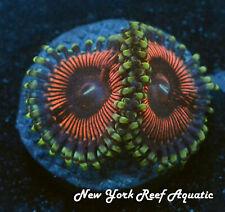 New York Reef Aquatic - 0611 F2 Rumplestiltskin Zoanthid, Zoa,Wysiwyg Live Coral