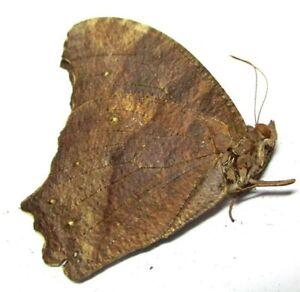 D005 EL : AU : Butterflies: Melanitis atrax atrax 40mm