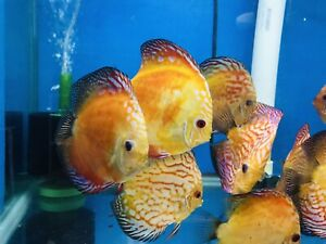 Red PIGEON discus | Overnight Shipping | USA SELLER