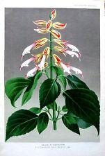 Salvia brasiliensis ISSANCHOU, pannemaeker, Linden antique Botanical Print 1878