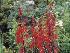 Flower - Lobelia Cardinalis - Queen Victoria - 150 Seeds