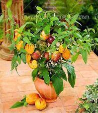 100pcs/bag mini sweet melon Melon Tree Non GMO-Organic Fruit and vegetable seeds