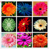 Gerbera Flower Seeds Mixed Color Rare Viable Bonsai Plants For Home Decor 100pcs