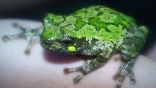 New ListingGray Tree Frog Tadpoles (20+ Tadpoles) Free Shipping!