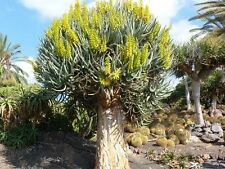 10 Seeds - Quiver Tree - Aloe dichotoma