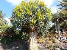 10 Seeds - Quiver Tree - Aloe dichotoma