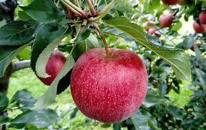 5 Pink Lady Apple Tree Seeds - Five Seeds - (PINK LADY)