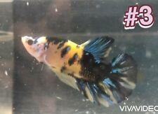 New listing Live Betta Fish - Yellow Koi Red Galaxy Hmpk - Female #3