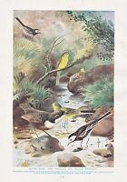 1910 Natural History Doble Costado Estampado Wheatear Tarabilla Común & Whinchat