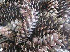 """Crafters/Home Decor ~ 100 Brown Medium To Large Pinecones ~ 5"""" To 7"""""""