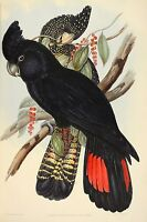 John Gould red tailed black cockatoo Canvas Print Decor, Choose Your Size !!!