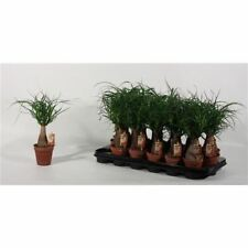 Nolina maya palm house plant in a 9cm pot x 1  Ponytail Palm