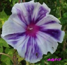 Plum Blizzard - Japanese Morning Glory - 6 Seeds - ipomoea Nil - LIMITED *NEW*