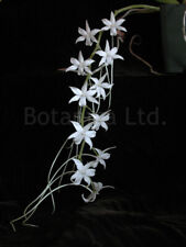Botanica Ltd. Aerangis articulata *Choice-Madagascar* Species Orchid Plant