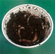 Tiger Organic Worms (50g approx) Ideal for Composting and Fishing