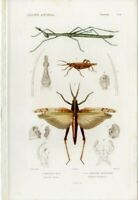 1836-49 CUVIER Antique H/C Print: CRICKETS INSECTS, NATURAL HISTORY, RARE DECOR