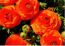 Ranuculus Postcard x1 Flowers for Postcrossing