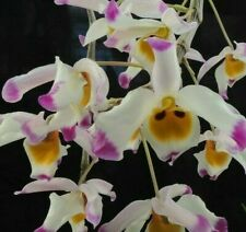 Dendrobium wardianum  SPECIES   ORCHID plant - mounted,Fragrant
