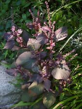 Japanese Red Shiso Beefsteak Plant 50 Seeds