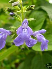 Fresh Chia Seed Grow Your Own Health Food Omega 3 in Flower Garden Blue Flower