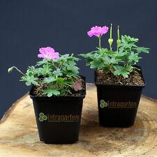Storchschnabel Max frei rosa reichblühende Geranium Bodendecker im 9 cm Topf