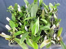 RON. Bulk Orchid deal. 50 Quality Cattleya seedlings - compare the prices!(9323)