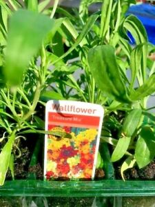 Wallflowers & Sweet William plants ready now.