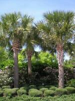 5 Cabbage Palm Tree Seedlings - Sabal Palmetto  Durable Tropical (+5 free)