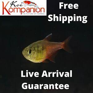 3/5/10/20X Von Rio Flame Tetras Beginner Aquarium Koi Kompanion Free Shipping