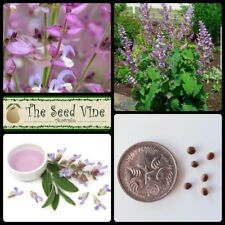 50+ CLARY SAGE SEEDS (Salvia sclarea) Herb Essential Oil Medicinal Culinary