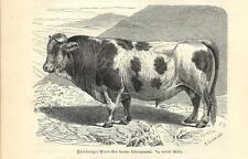 Stampa antica TORO Bos taurus friburgensis BULL 1891 Old antique print