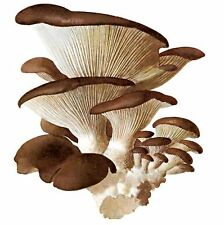 Live 100 g Mycelium Seeds Spores Oyster Ordinary Mushroom fungus Kit w/ Manual
