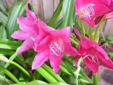 Amaryllis 6 Small Super Ellen Bulbs Not Blooming Size