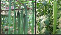 7 Luffa Long (1m) Samen Gurke - Schwämme Schwammkürbis, Cylindrica loofha sponge