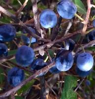 Schlehe Prunus Espinosa (Pacharán) Obst 50 Saatgut Seeds