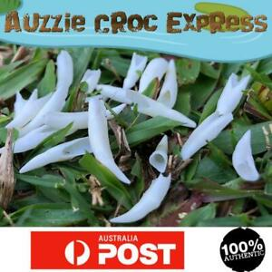 20 Authentic Australian Crocodile REAL Teeth Small size mixed pack