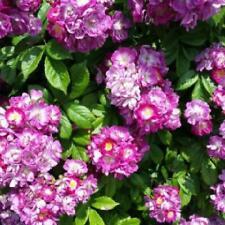 More details for rambling rose perennial blue