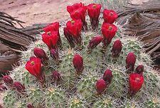Echinocereus triglochidiatus 10 graines