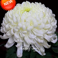 Flowers Bonsai White Chrysanthemum Flores Potted Plants Garden 100 PCS Seeds New