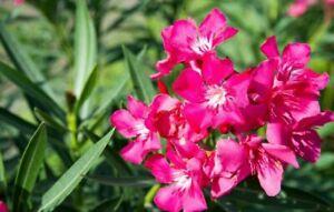 """Red burgundy Oleander """"Nerium Oleander"""" - 3 Fresh Cuttings"""