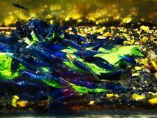 10 +1 Ultra Blue Dream- Freshwater Neocaridina Aquarium Shrimp. Live Guarantee