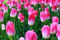 PINK TULIPS FLOWER POSTER PRINT 24x36 HI RES 9MIL PAPER