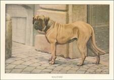 Mastiff Dog by Louis A Fuertes, antique print authentic, Matted, 1919