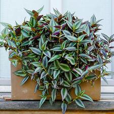 Tradescantia Zebrina - Wandering Jew | Best Indoor Plants | 15-25cm Potted