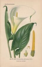 Calla (Zantedeschia aethiopica) Chromo-Lithographie von 1893 Bois