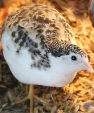 12+ Fertile Button Quail Hatching Eggs