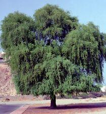 10 Semillas - Arbol Jandi - Prosopis Cineraria - Jardin - Madera - Garden Samen