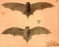 Vintage Natal Free Tailed Bat Specimen Drawing Painting Real Canvas Art Print