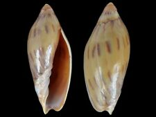 Amoria maculata - Shells from all over the World